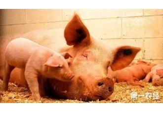<b>猪细小病毒感染 初产母猪易发病</b>
