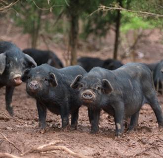 """<b>兰西:做大东北民猪产业  巧打""""兰西民猪""""品牌</b>"""