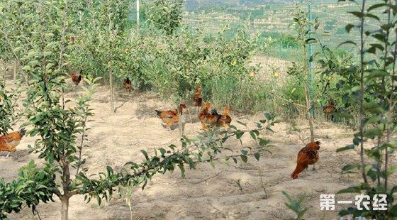 苹果园能否养鸡?柑桔园能不能养鸡?