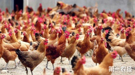 生态养鸡模式:蛋鸡网床发酵粪污生态养殖