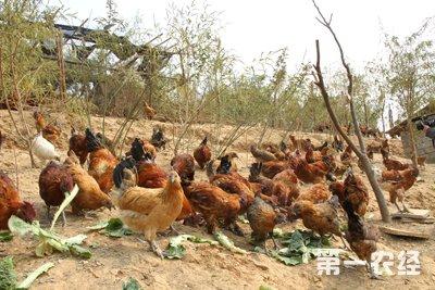 无量山乌鸡生态养殖技术