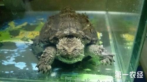 广西贺州:养殖佛鄂龟成致富新项目