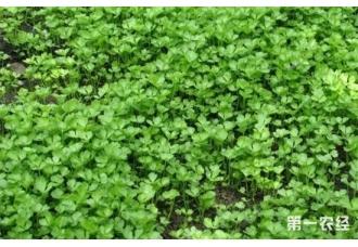 如何进行芹菜育苗?夏季芹菜育苗技术要点
