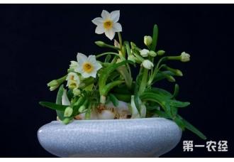 家庭如何养水仙花?养水仙有什么危害吗?