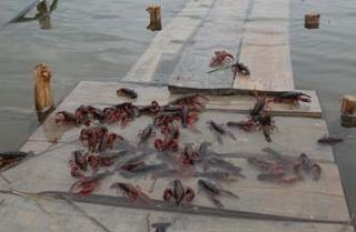 【小龙虾专题】小龙虾养殖技术|小龙虾疾病