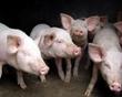<b>大白猪外貌特征、生产性能以及利用价值简介</b>