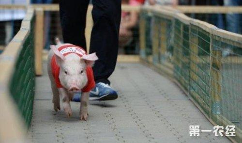 """日本骑猪大赛开赛 被指""""虐待动物""""行为图片"""