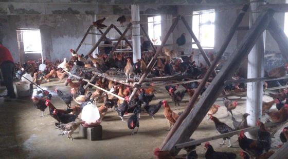 农村小型养鸡场设计图 - 鸡舍建设 - 第一农经网图片