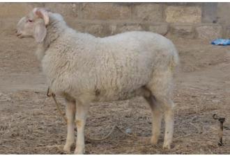 小尾寒羊24个节气饲养方法秘籍大全