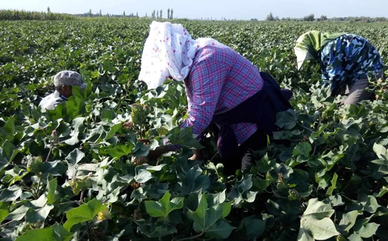 149团14党支部棉花产量鉴定顺利完成  预计总产可达500万公斤籽棉