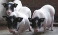 巴马香猪(猪品种)饲养环境
