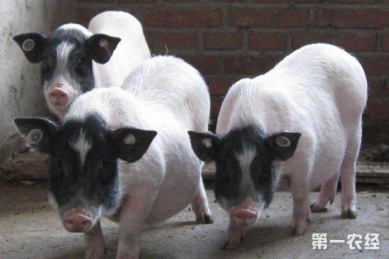 """巴马香猪,外貌清秀,个体矮、小、短、圆,性野早熟。外貌颜色特征主要表现为两头黑、中间白,部分个体背腰部稍带黑斑,额头有白线或倒三角型白斑,俗称""""两头乌""""、""""芭蕉猪""""。巴马香猪极耐粗饲,适应性和抗病能力强;性成熟为99~127天(公猪最早16天便有个别分泌性腺素并能产生精子,一般为26~50日龄),母猪性成熟体重14~21千克;成年体重35~45千克。8~10千克仔猪屠宰率为61%,后腿比28."""