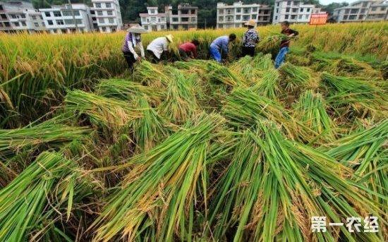 我国超级稻育种成果显着