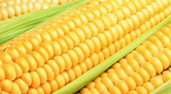 农业部:三省销毁1100多亩违法转基因玉米