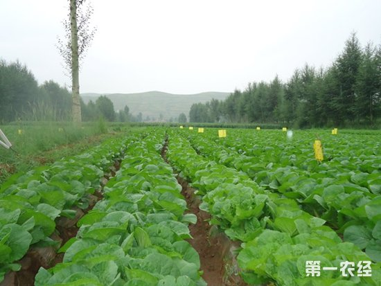 六盘山冷凉蔬菜效益高 年产值过千万