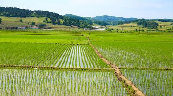 2016年全国早稻总产量655.5亿斤同比下降2.7%