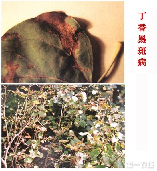 月季黑斑病      5.杨树黑斑病      6.松针褐斑病      7.
