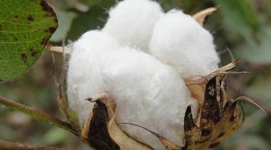 一四九团13党支部强化棉花后期管理提升作物产量