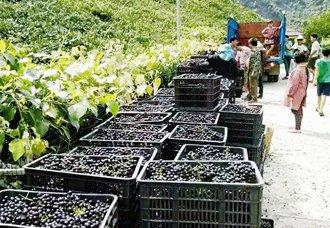 广西都安:毛葡萄基地葡萄丰收引客来