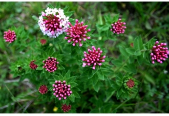 中国常见有毒花卉植物介绍【图文(3)】