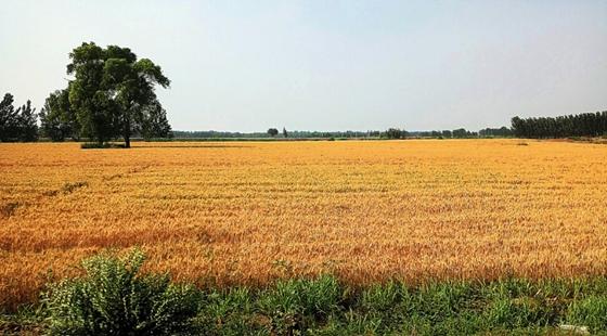 内蒙古巴彦淖尔市:小麦成为农民收入的保险田