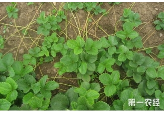 草莓繁殖苗的田间管理技术