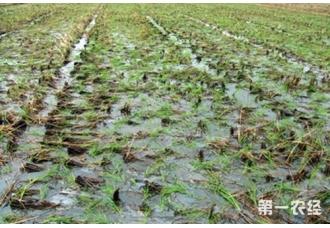 水稻免耕直播栽培技术