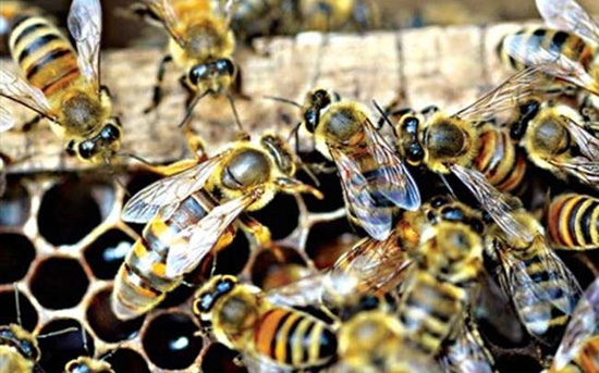 蜜蜂秋繁死亡率高怎么办?