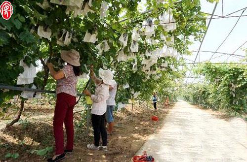 河南汤阴县:葡萄熟了吸引游客采摘发展都市休闲农业