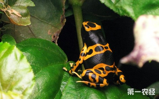 箭毒蛙的天敌是什么?