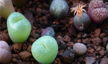 千姿百态的番杏科多肉植物欣赏