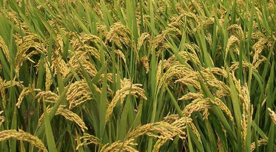 <b>辽宁:超级稻已发展到9个品种 创造经济效益100多亿元</b>