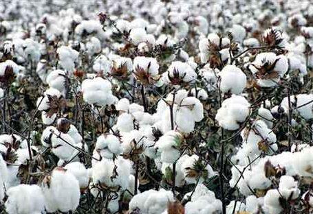 <b>新疆兵团第八师一四九团职工积极交售优质籽棉</b>