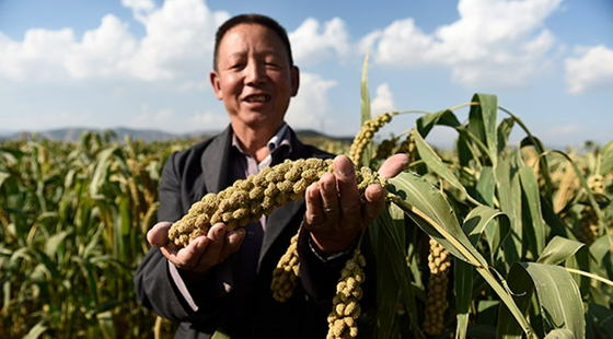 山西:万亩小米丰收在望