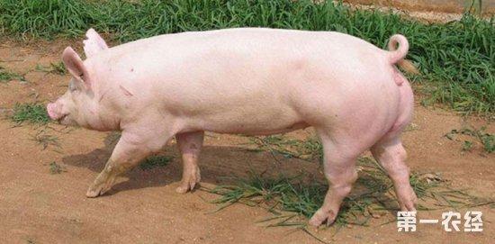 育肥猪养殖技术_秋季育肥猪饲养理须知-养猪技术-第一农经网