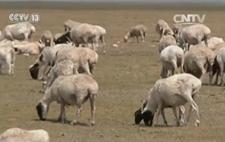 内蒙古草原旱灾:牲畜越冬饲草缺口大 损失超百亿