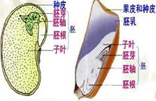 菜豆种子和玉米种子有何异同点?