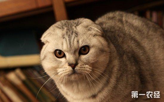 折耳猫的外表看起来很可爱,但是却带有遗传病,在幼猫时期不会体现出来