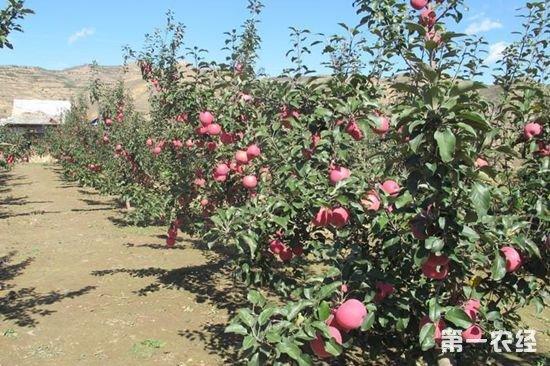 矮化苹果园