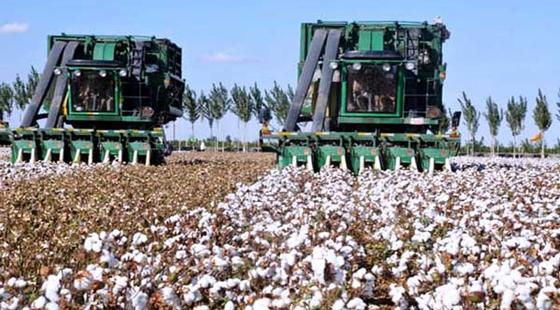 一四九团13党支部干部为机采棉采摘质量保驾护航