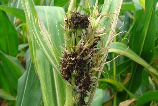 五、玉米丝黑穗病引起不长   1、原因:玉米丝黑穗病株会表现植株矮化,株形似玉米粗缩病,不能抽穗,这是玉米丝黑穗病的另一种病症。   2、解决办法:拔除病株,集中烧毁。再种玉米用克-立克秀种衣剂拌种。对瘤黑粉病株,如果雌穗全穗不结粒马上拔除并烧了,可以喷施烯唑醇、戊唑醇等灭菌以防再侵染,还兼治中后期叶部多种病害。