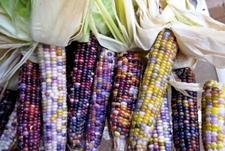 琉璃玉米是转基因玉米吗?琉璃玉米可以吃吗?