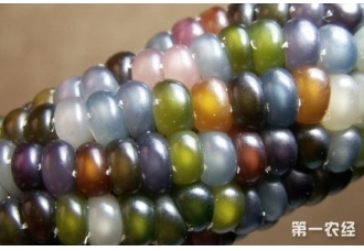 琉璃玉米种子哪里有卖?我国国内有琉璃玉米吗