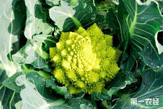 罗马花椰菜怎么种?罗马花椰菜种植技术