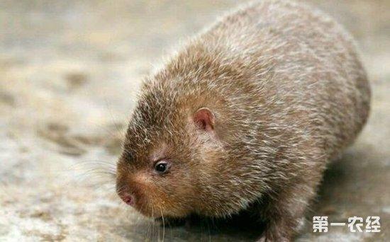 野生竹鼠是保护动物吗?