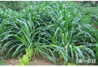 饲料草种植:墨西哥玉米草优缺点