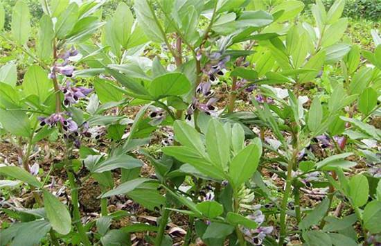 蚕豆的生长过程,图解蚕豆生长全过程