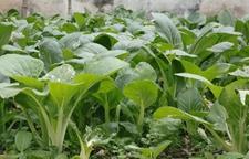 九月份种什么蔬菜好?九月种植蔬菜的注意事项