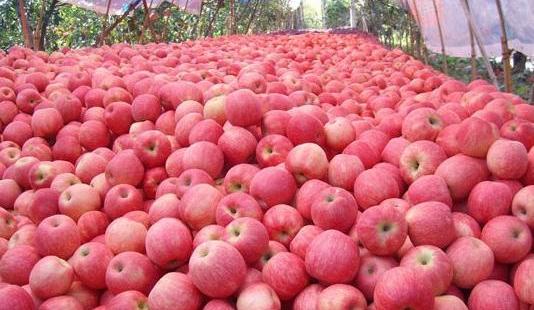 山西苹果首次通过海上运输出口秘鲁打开南美市场