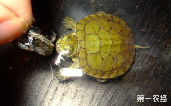 乌龟冬眠时间,乌龟冬眠前准备